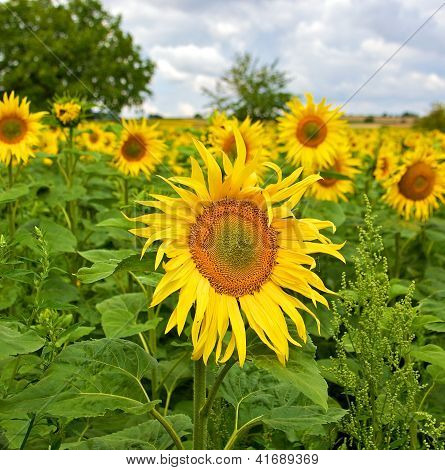 Beautiful Sunflowers In The Field In Summer