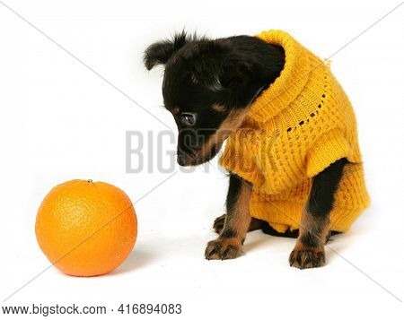 Isolated Staffordshire Terrier Two-month Puppy Dog With Tennis Ball. Young Puppy Dog Sitting On Whit
