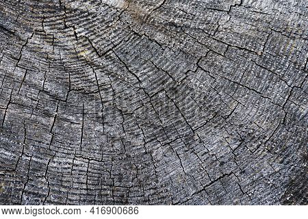 Tree Cross Section. Annual Growth Rings. Cracked Wood Background. Old Weathered Wooden Texture. Gray