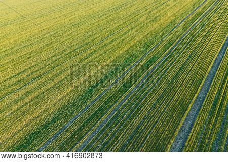 Drone View Of A Crops On Agricultural Fields. Amazing View Of Green Wheat Field Beautiful Aerial Vie