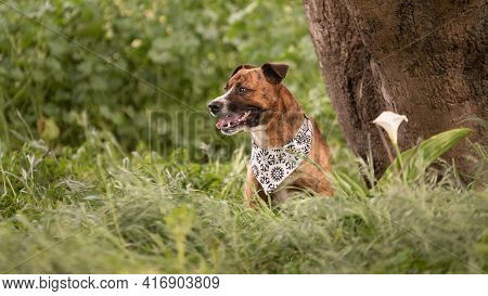 Pit Bull Dog Wearing A Bandana Sitting Next To A Tree In The Long Green Grass