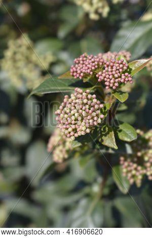 Laurustinus Eve Price Flower Buds - Latin Name - Viburnum Tinus Eve Price