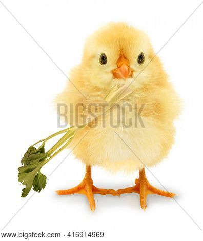 Cute cool chick eats celery healthy food diet vegetarian wellness funny conceptual image