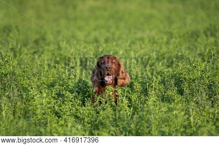 Smiling Happy Panting Irish Red Setter Pet Dog Hidden In The Green Grass. Peekaboo, Peeking Concept.