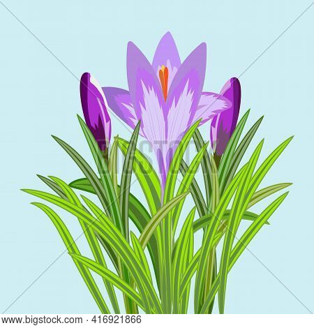Vector Illustration Of Three Crocus Flowers. Crocus With Buds And Flower With Petals And Stems Aroun