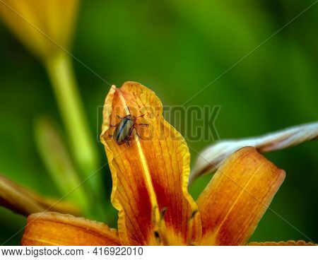 A Japanese Beetle Takes A Rest On A Pretty Orange Daylily Petal With A Nice Breen Bokeh Background.