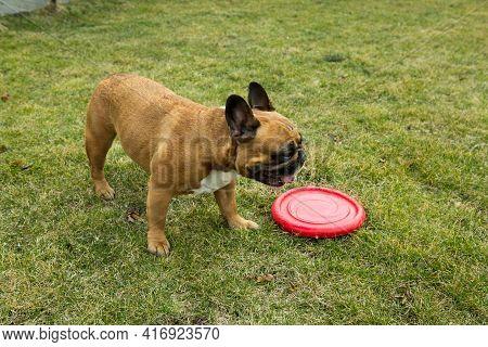Funny French Bulldog Plays With A Toy On A Green Lawn. French Bulldogs Are Very Playful.