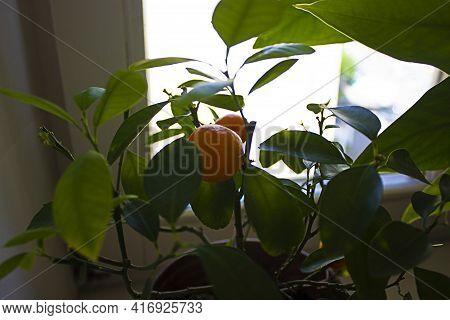 Mandarin Tree In Pot On Window. Citrus Reticulata, Mandarin Orange, Robson, With Fruits And Flowers.