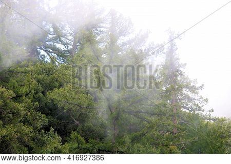 Fog Surrounding Pine Trees Taken At An Alpine Conifer Forest In The Rural San Gabriel Mountains, Ca