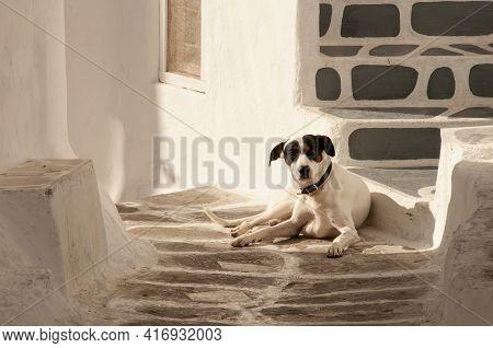 A Cute Jack Russell Terrier Lying On The Floor Of An Alleyway On The Island Of Mykonos In Greece.