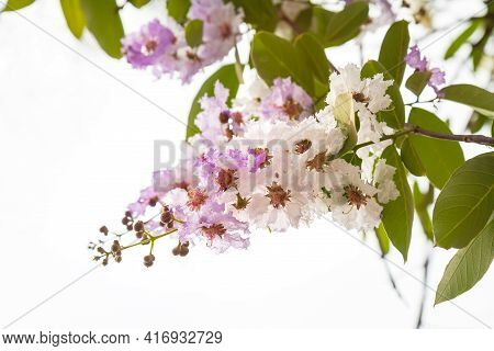 Delicate Lilac-white Flowers Lagerstroemia Floribunda, Native Of The Tropical Region Of Southeast As