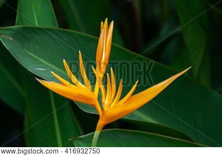 Unusual Tropical Flower Heliconia Or False Bird-of-paradise Flower