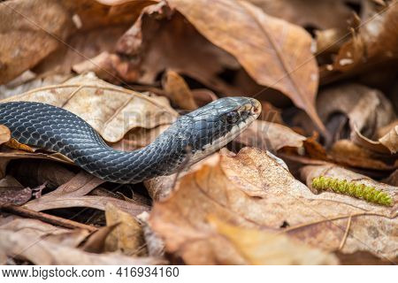 A Black Racer Snake Slithers Over Brown Dry Leaves On The Forest Floor.