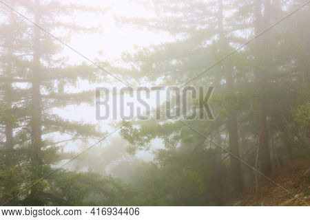 Lush Pine Trees At An Alpine Conifer Forest Surrounded By Fog During A Rain Storm Taken In The Rural