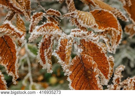 Brown Frozen Leaves Background Symbolizing Cold Winter Spring Mornings.the First Frosts And Frozen L