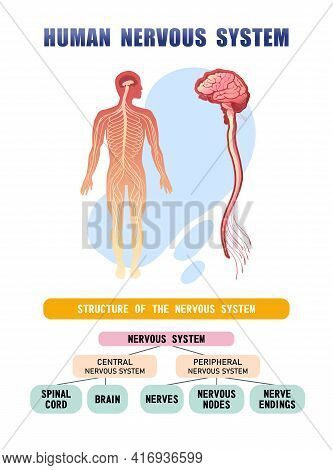 Vertical Poster Silhouette Of The Human Body, Diagram Of The Structure Of The Nervous Systems, Brain