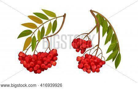 Red Rowan Berries Hanging On Branch With Pinnate Leaves Vector Set