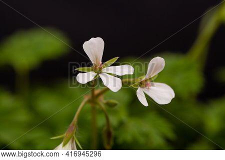 Flower Of A Pelargonium Oxyphyllum