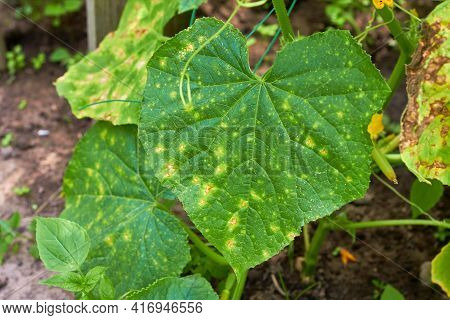 Cucumber Leaves Affected By Downy Mildew. Plant Leaf Disease. Cucumber Disease. Peronosporosis. Fals