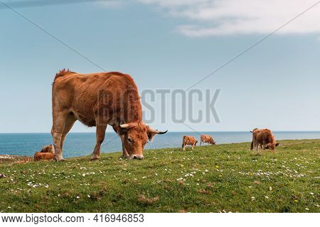 Group Of Cows Grazing Peacefully In A Field In Front Of The Sea. Free Cattle. Extense Livestock Farm