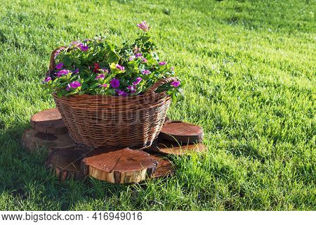 Wicker Basket With Pink Petunia Flowers On Green Lawn. The Design Of The Infield. Decorations For Th