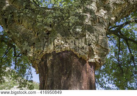 Cork Oaks Trunks After Cork Harvest Or Saca. Selective Focus. Forestry At Mediterranean Forest Conce