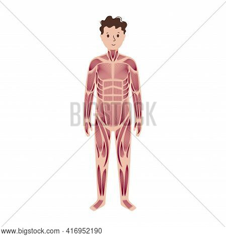 Human Muscular System Anatomical Poster. Structure Of Muscle Groups And Ligaments Of Child In Front