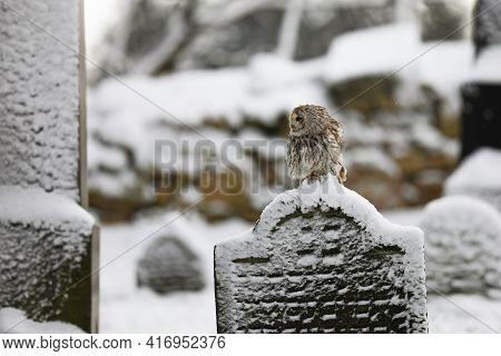 Tawny Owl Sit On The Tombstone - Strix Aluco