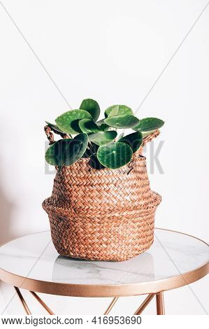Chinese Money Plant, Pilea Peperomioides Or Pannenkoekenplant, Small House Plant In Natural Seagrass