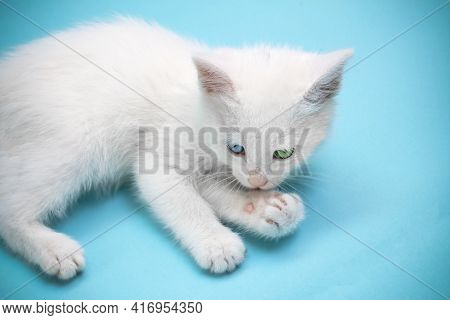 Small White Kitten Lying And Licking Its Paw, With Blue And Green Eyes On Blue Background