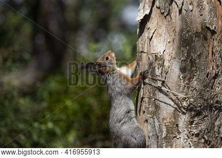Curious Red Squirrel Peeking Behind The Tree Trunk Fluffy Rodent, Squirrel On A Tree