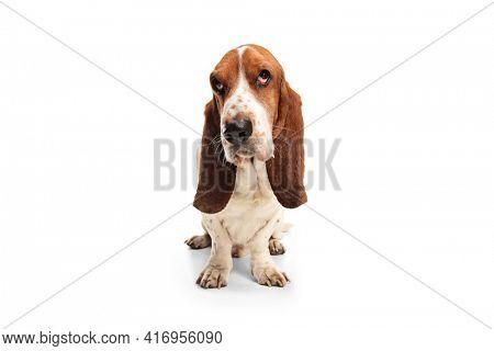 Studio shot of a basset hound dog isolated on white background