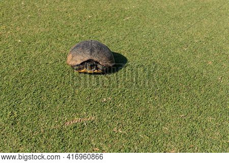 Wild Turtle On Golf Course