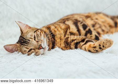 Bengal Kitty Cat Laying On The White Fury Blanket