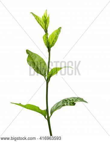 Green Tea Leaf Isolated On White Background. Clipping Path