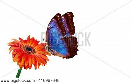 Beautiful Blue Morpho Butterfly On A Flower On A White Background. Copy Spaces. Orange Gerbera Flowe