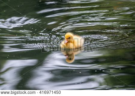 Cute Little Duckling Swimming Alone In A Lake With Green Water. Agriculture, Farming. Happy Duck. Cu