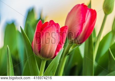 Details Of Two Red Tulips In Spring. Garden Plants In The Sunshine. Flowers With Textured Petals In