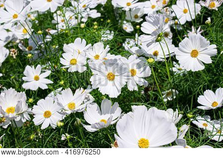 White Mexican Aster Flowers In Garden Bright Sunshine Day On A Background Of Green Leaves. Cosmos Bi