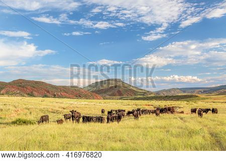 Open range cattle grazing at foothills of Rocky Mountains in northern Colorado, summer scenery in Red Mountain Open Space