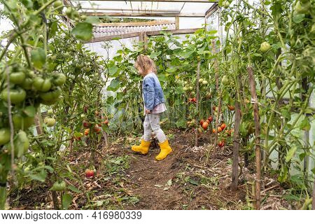 Harvesting Tomatoes On A Family Farm. Little Child Girl In A Blue Denim Jacket Examines Ripening Tom