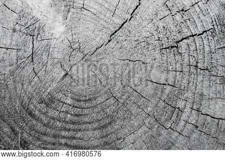 Close Up View Onto Remains Of Stump Of Pine Tree, Its Surface, Growth Rings, Heartwood, & Cracks Tha