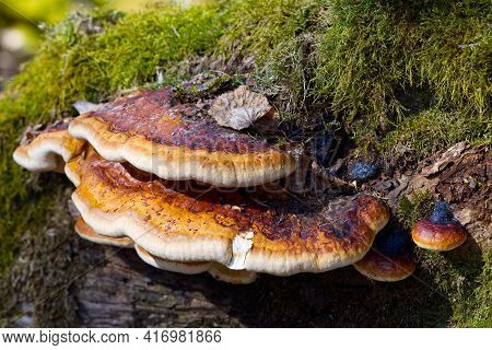 Red Banded Polypore Growing On A Tree Covered By Green Moss In The Forest. A Parasitic Fungus Growin