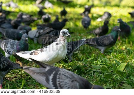 Pigeons In The Park On The Grass. One White Bird Among The Grays. Personality Concept