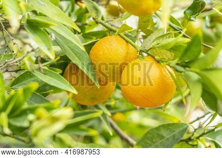 November 2020. Kato Drys In Larnaca District, Cyprus. Mandarin Orange, Also Known As The Mandarin Or