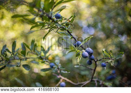 Juniper Berries. Closeup Of Ripe Blueberries On Bush, Soft Sunlight And Blurred Lush Foliage. Blue B