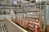 Pork plant with very large pigs in special stalls poster