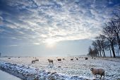 sunbeams over winter Dutch pasture with sheep poster