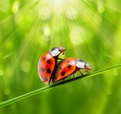 Funny picture of a love making ladybugs couple. Valentine background. poster