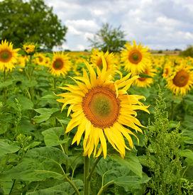 Beautiful Sunflowers In The Field In Summer